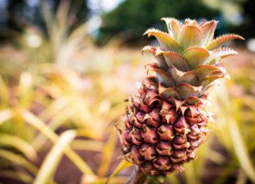 Ananas auf Oahu