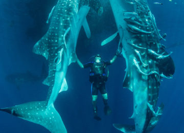 Divers with whale sharks in Papua New Guinea