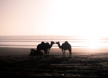 Three camels by the sea