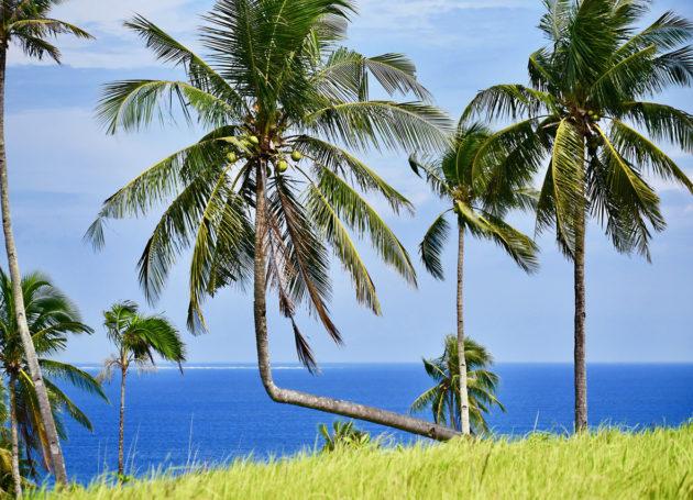 Kokosnuss Palme auf Siargao in den Philippinen