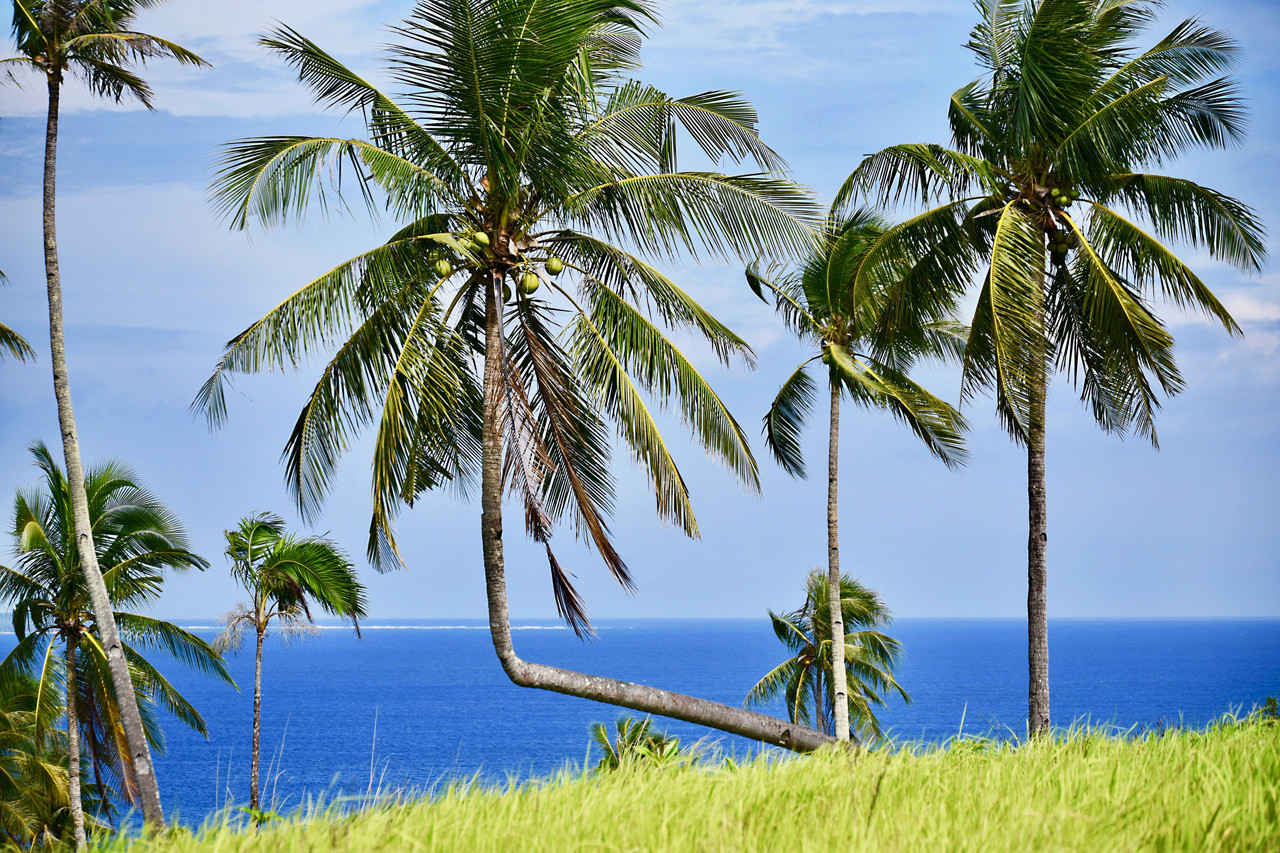 Coconut palm on Siargao in the Philippines