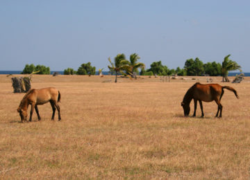 Horses on Red Island
