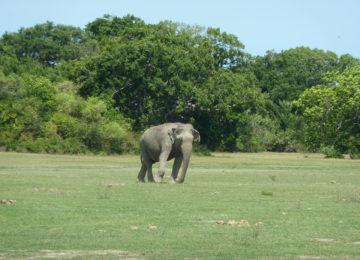 Elephant on meadow in Kumana National Park