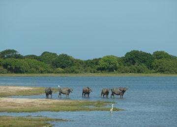 Buffalo in Sri Lanka's Kumana National Park