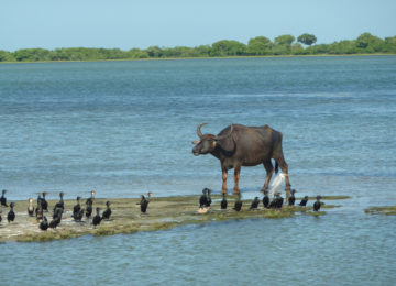 Buffalo by the water in the National Park