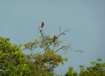 Eagles on the tree in Sri Lanka National Park