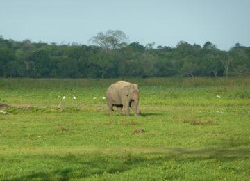 Elephant on green meadow at Arugam Bay