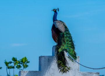 Farbenfroher Pfau in Sri Lanka