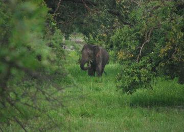 Elephant eats grass between trees