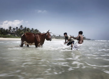 Locals wash a cow in the sea