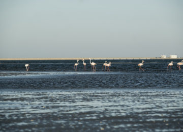 A group of flamingos wading through the water
