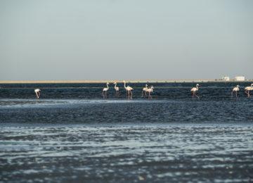 Eine Gruppe Flamingos waten durch das Wasser