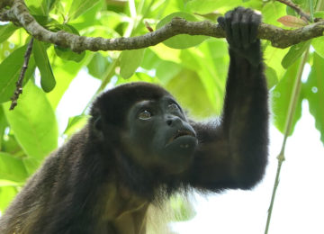 Monkey in the jungle of Costa Rica