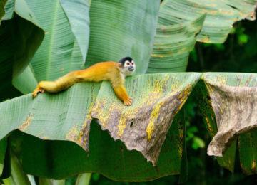 Monkeys in Pavones