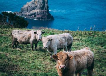Kühe auf Sao Miguel